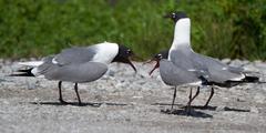 Stock Photo of franklin gull, larus pipixcan