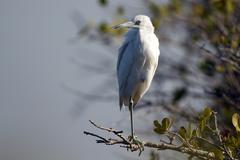 little blue heron, egretta caerulea - stock photo
