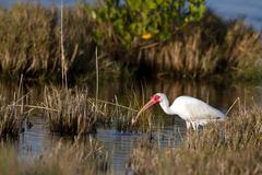White ibis, eudocimus albus Stock Photos