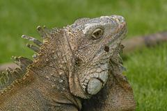head shot of a green iguana - stock photo