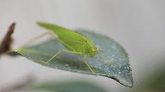 Adult katydid on a leaf Stock Footage