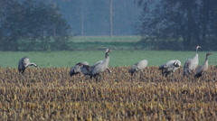 Crane birds in a field Stock Footage