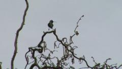 Hummingbird on branch in low light.  Flys off and then returns - stock footage