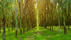 Rubber trees in neat rows on a plantation in thailand Stock Footage