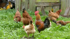 Hens, chickens and rooster in the grass on organic farm 2 Stock Footage