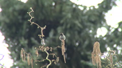 Hummingbird on branch stretching wings - stock footage