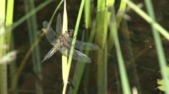 Stock Video Footage of Dragonfly, Four-spotted Chaser perched on reed - side view - and flies away