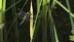 Stock Video Footage of Dragonfly, Four-spotted Chaser returning to a favoured perch at a pond