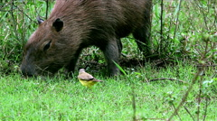 Flycatcher and a capybara eating together Stock Footage