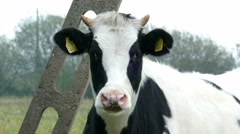 Portrait of black and white dairy cow - stock footage