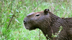Stock Video Footage of Mid shot of a capybara