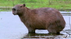 A capybara standing in water Stock Footage