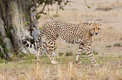 Cheetah (Acinonyx jubatus), Masai Mara, Kenya, East Africa, Africa - stock photo