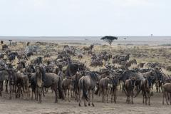Wildebeest (Connochaetes taurinus) approaching the Mara River, Masai Mara, Stock Photos