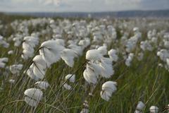 Dense stand of common cottongrass (Eriophorum angustifolium) flowering on damp Stock Photos