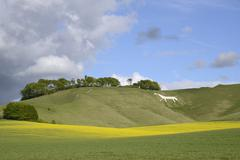 Cherhill White Horse, cut into chalk downland in 1780, with rape crop (Brassica Stock Photos
