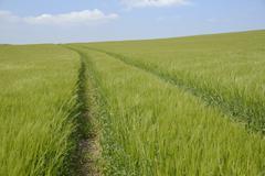 Vehicle tracks through a field of barley (Hordeum vulgare), Marlborough Downs, - stock photo
