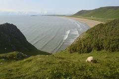 Sheep (Ovis aries) grazing cliff-top pastureland with Rhossili Bay beach in the Stock Photos