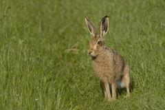 European hare (brown hare) (Lepus europaeus) standing on grassy farmland track - stock photo
