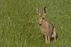 European hare (brown hare) (Lepus europaeus) standing on grassy farmland track Stock Photos