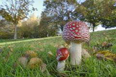 Fly agaric toadstool (Amanita muscaria) growing in grassland, Coate Water Stock Photos
