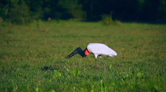 Low angle view of a Jabiru Stock Footage