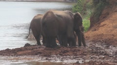 African elephants mud bathing next to river Stock Footage