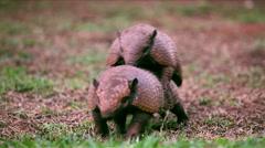 Armadillos mating Stock Footage