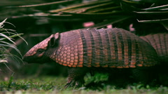 An armadillo Stock Footage