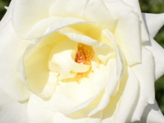 White rose, macro. Related clips are in my portfolio in 1920x1080. Stock Footage