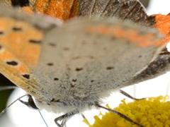 Butterfly on a flower. Related clips are in my portfolio in 1920x1080. Stock Footage