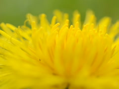 Nature and dandelion, seeds shooting of macro Stock Footage