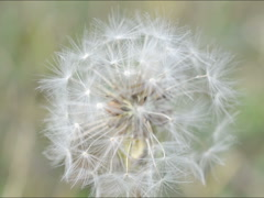 Stock Video Footage of Dandelion in the fall. Related clips are in my portfolio in 1920x1080.