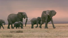 A herd of elephants walk across plain Stock Footage