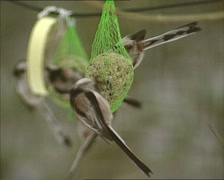 Flock of Long-tailed Tits (aegithalos caudatus) feeding on a fat ball Stock Footage