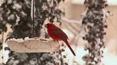 Cardinals in winter - stock footage