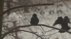 Jackdaws on a branch, yard Stock Footage