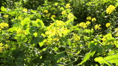 Rapeseed field in a sunny autumn day. - stock footage