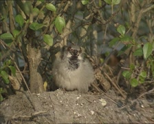 Moulting bird, House Sparrow (passer domesticus) sits preening under a hedge Stock Footage