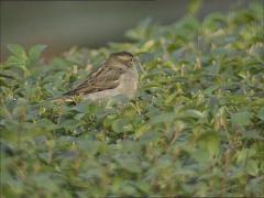 Female House Sparrow (passer domesticus) perched on top of a hedge Stock Footage