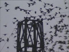 Starling (sturnus vulgaris) swarm perched on electricity pole + fly away Stock Footage