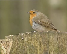 European Robin (Erithacus rubecula) perched on a log feeding on bird seed Stock Footage
