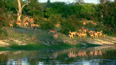 A herd of impala gathering on a riverbank Stock Footage