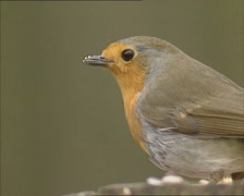 European Robin (Erithacus rubecula) feeding on bird seed - close up Stock Footage