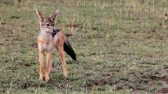 A jackal stretching and yawning Stock Footage