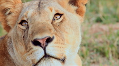 Close up of a lioness Stock Footage
