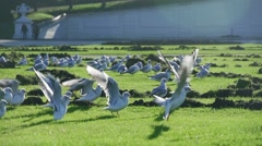 A flock of seagulls flying off the meadow in slow motion Stock Footage