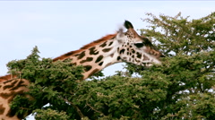 A giraffe eating from the top of a tree Stock Footage