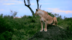 A lioness sitting on an ant hill - stock footage