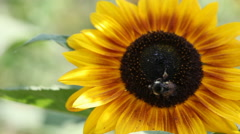 HD MACRO Bees on sunflower Stock Footage
